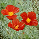 Package of 2,000 Seeds, Red Chief California Poppy (Eschscholzia californica) Non-GMO Seeds by Seed Needs