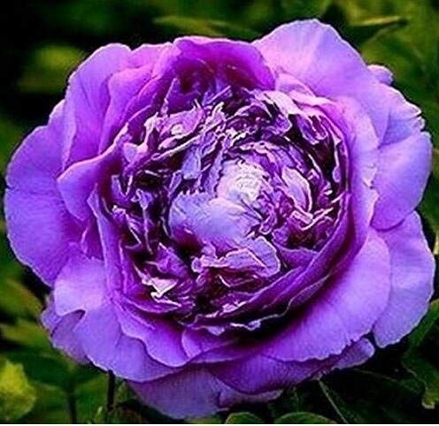 Purple Peony Roots - 4 Bare Roots - Outstanding Garden Fragrant Flowers Perennial Bonsai