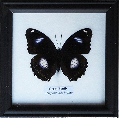rare-framed-real-beautiful-great-eggfly-butterfly-display-insect-taxidermy-5x5x1