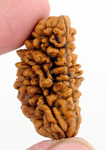 Maa Padma Natural Rudraksha Beads (1,2,3,4,5,6,7,8,9,10,11,12,13,14 Faced) Original Rudraksha Beads Himalayan Collections (1 Face)