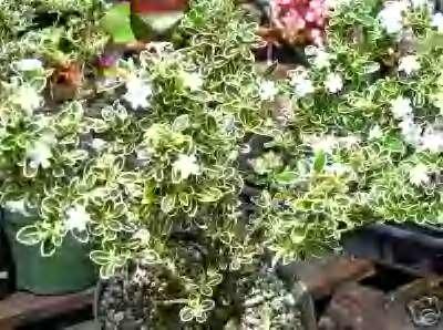 Amazon sandys nursery online serissa foetidawhite flowers sandys nursery online serissa foetidaquotwhite flowersquot tree of a thousand mightylinksfo