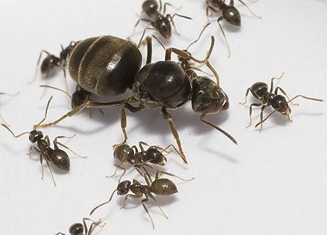 Hormigas vivas hormiga reina con 20-40 trabajadores Myrmica rubra