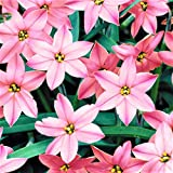 Starflower Charlotte Bishop - 10 Robust Ipheion Uniflorum Bulbs - 5+ cm
