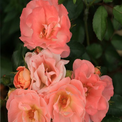Drift Peach Rose Shrub Plants
