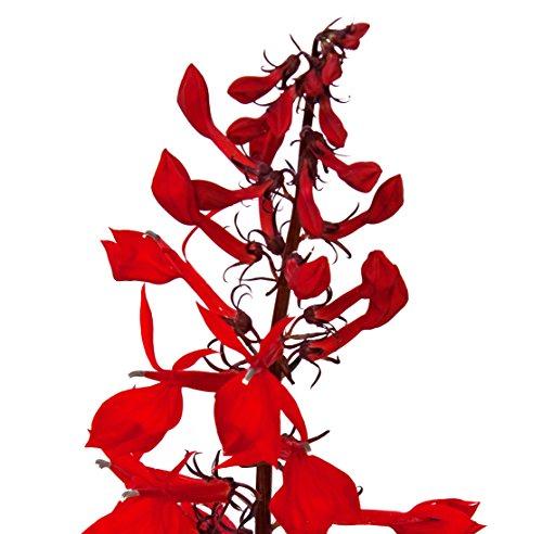 Cardinal Flower Lobelia cardinalis LIVE PLANT red flower splendens ()