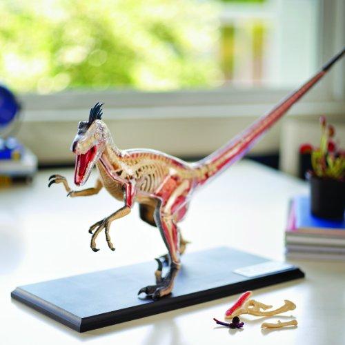 4D Vision Velociraptor Anatomy Modely