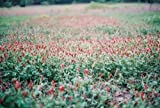 5 lb of Clover/Legume Seed Crimson Red Alsike Balansa Berseem Trefoil Vetch Flower Fresh Seeds (crimson clover)