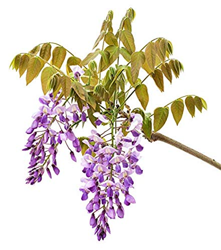 Amethyst Falls Wisteria Vine - Live Plant - 3 Inch Pot (Best Wood For Pergola In Arizona)