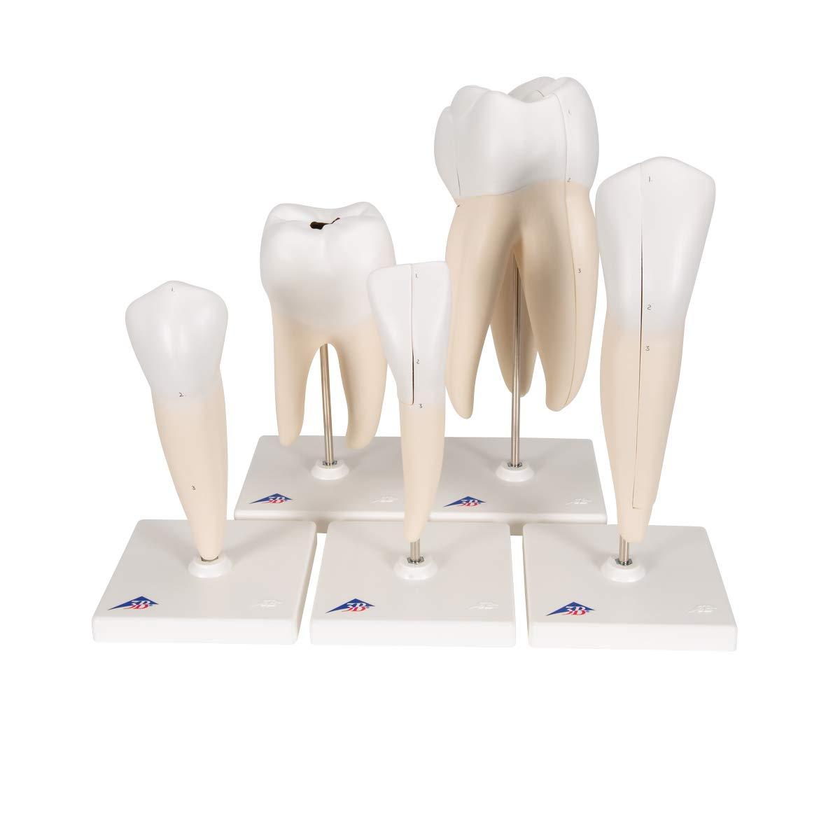 人気商品 歯のシリーズ,8倍大モデルセット 5個セット 5個セット B005DTL9LW B005DTL9LW, 浜中町:eb321483 --- a0267596.xsph.ru