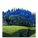 Pride of Madeira 25 Seeds - Echium Fastuosum -Perennial