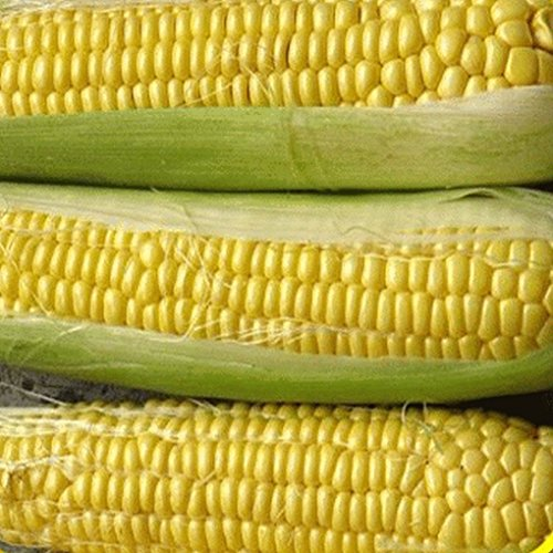 100 Bodacious Hybrid Sweet Corn Seeds - Gold Vault Jumbo (Corn Hybrid Seed)