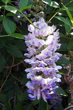 seedsown Planta de Las glicinias de la Luna Azul - Macetas - Enormes Flores fragantes - 4