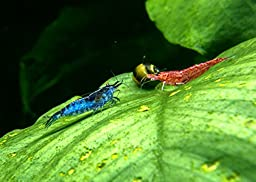5 Live Freshwater Dream Blue Velvet Shrimp (Neocaridina davidi) - Breeding Age Adults at 1/2 to 1 Inch Long by Aquatic Arts