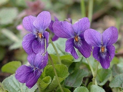 Viola odorata (Sweet Violet) - Lovely Little Wildflower - 25 Seeds