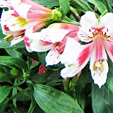 10 Peruvian Lily seeds~~special