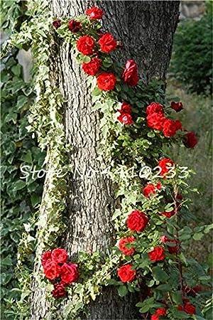 Ponak nuevas 100 PC rosal trepador semillas de flores para jardinería rojo 1: Amazon.es: Jardín