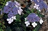 HYDRANGEA SERRATA 'BLUEBIRD' - STARTER PLANT - DORMANT