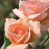 Apricot Candy Rose Bush - Fragrant Peach Apricot Flowers All Summer! | Own Root Easy To Grow | 4 Inch Container Potted
