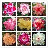 Authentic Adenium Obesum Seeds Flower Pots Planters Rainbow Desert Rose Seeds Bonsai Plants Seeds for Home & Garden 5 Seeds/bag