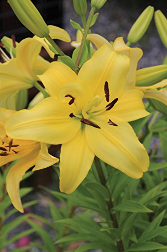 5 Bulb of Lilium Longiflorum Asiatic Yellow Power - Lily