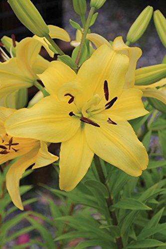 50 Bulb of Lilium Longiflorum Asiatic Yellow Power - Lily