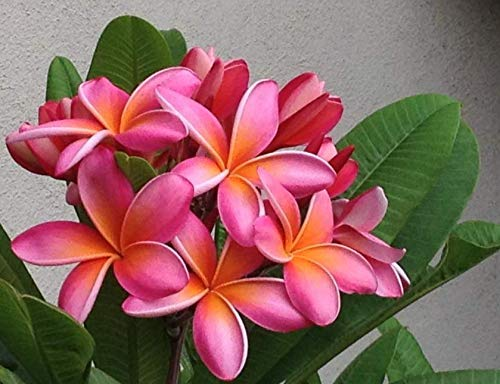 Live Plant Rooted Pink Plumeria Plant with Multi Tip (Kaneohe Sunset) in 1 Gallon Pot #BSG01YN by blustagarden
