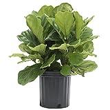 Kyпить Delray Plants Ficus Pandurata Bush in Pot, 8-3/4-Inch на Amazon.com