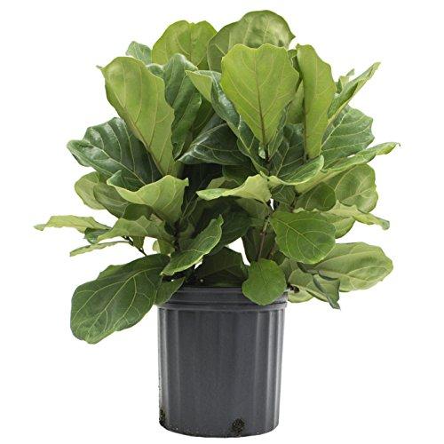 Costa Farms Premium Live Indoor Ficus Lyrata, Fiddle-Leaf Fig Floor ...