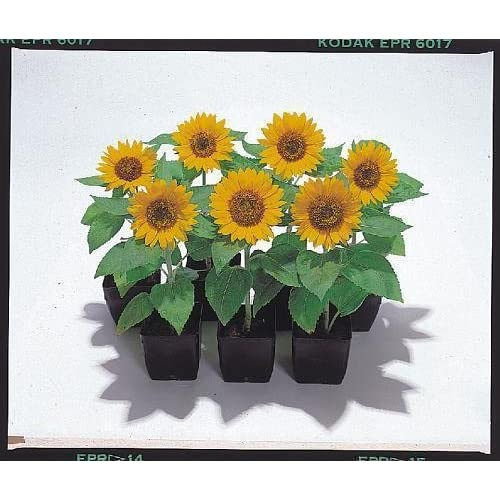 Sunny Smile F1 Sunflower 20 Seeds Beautiful Miniature Sunflower 6 Inches Tall