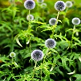 Outsidepride White Globe Thistle - 500 seeds