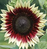 David's Garden Seeds Sunflower Strawberry Blonde DGS1744OP (Multi) 25 Hybrid Seeds