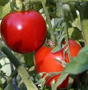 Amazon.com : Early Girl Hybrid Tomato 45 Seeds : Garden