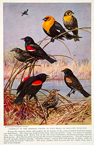 1934 Color Print Yellow Headed Blackbird Animal Wildlife Bird Redwing NGMA6 - Original Color Print from PeriodPaper LLC-Collectible Original Print Archive