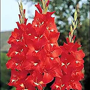5 x Gladiolus 'Traderhorn' (corm) (red Gladioli to plant at home)