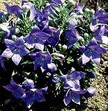 50 PLATYCODON Sentimental Blue Live Plant Plugs Garden Home DIY Planters BIN 255