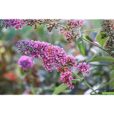 BUDDLEIA 'Bicolor' - Butterfly Bush - Starter Plant : Garden & Outdoor