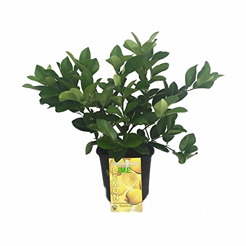 cocktail-tree-two-trees-in-1-pot-meyer-lemon-key-lime-fruiting-size-10-pot
