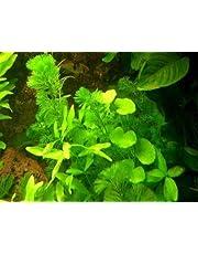 Plantas de agua Set América del sur 150-200 l Acuario