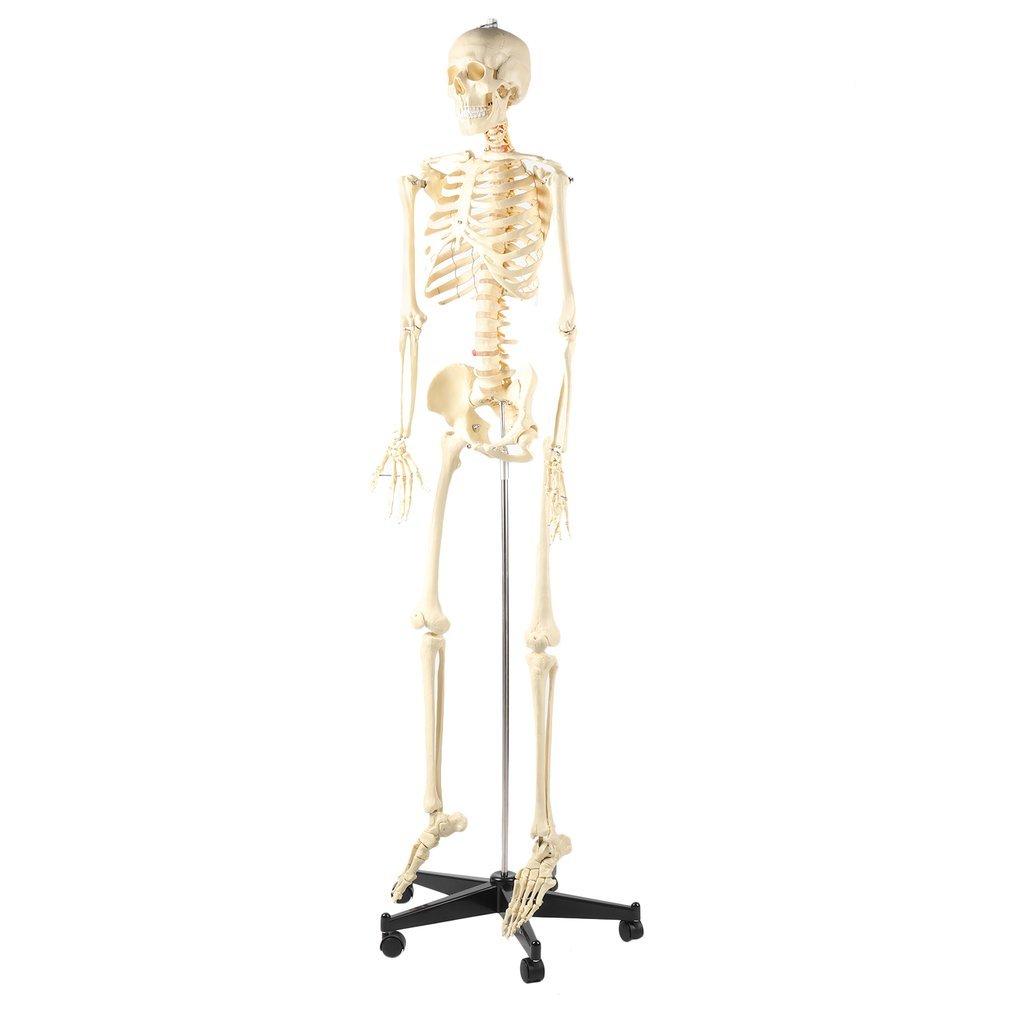 Blackpoolal 180CM Anatomie Skelett Modell Lebensgroß Menschliches ...