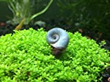 10 Blue/Silver Ramshorn Snails (Algae-eaters - Safe for Fish, Plants, and Shrimp) by Aquatic Arts™