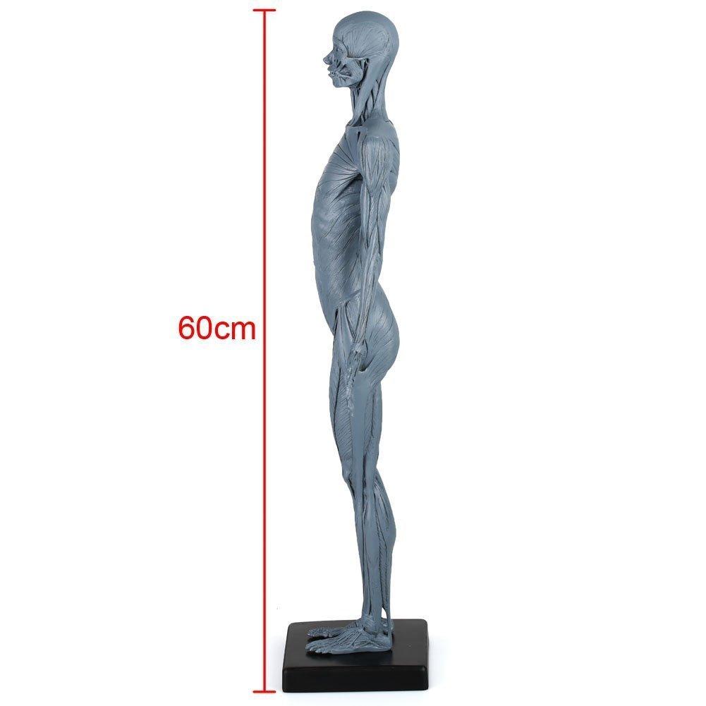 Groß Kapitel 10 Muskelsystem Makroskopische Anatomie Bilder ...