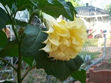 Amazon Angels Trumpet Yellow Flower Datura Metel 5 Seeds