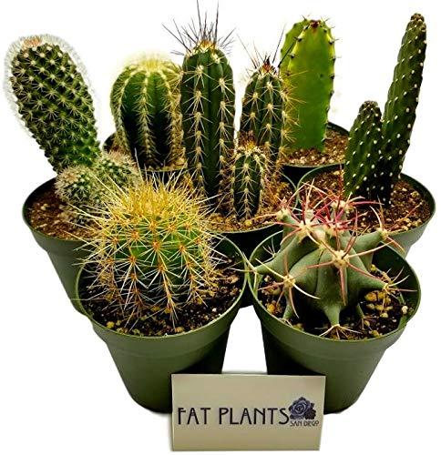 Fat Plants San Diego Large Cactus Plant(s) (7)