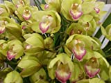 Orchid Insanity – Cymbidium Enzan Olive 'Emerald Feather' – blooms with tons of green flowers, exceptionally easy to grow and bloom, vigorous and hardy