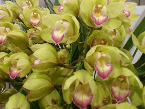 Orchid Insanity - Cymbidium Enzan Olive 'Emerald Feather' - Blooms with tons of Green Flowers, exceptionally Easy to Grow and Bloom, Vigorous and Hardy
