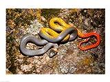 Western Ringneck snake 24.00 x 18.00 Poster Print
