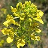 Black Mustard 100 Seeds Microgreens Salad Pest Repellent Spring Medicinal