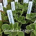 100pcs Green Cuban Oregano Seeds Mexican Thyme Indian Borage Seeds Spanish Thyme Perennial Herb Plant Garden Bonsai