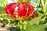 50 Gloriosa superba Seeds , Flame lily, fire lily, gloriosa lily, glory lily Seeds
