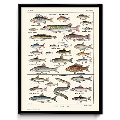 Orion Wall Decor - Freshwater Fish Vintage Print 5 - Fish Poster - Fish Art - Fish Picture - Poisson - Home Decor - Office Art - Office Decor - Larousse (Simple Ivory, 16 x 20 in)